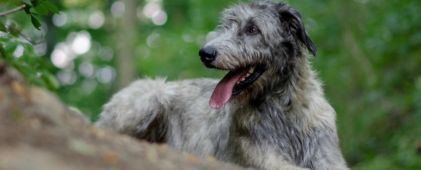 Irish Wolfhound named Thunder in Willow's Secret